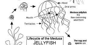 BHA19 Coloring Page Jellyfish Lifecycle